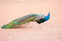 Indian Peacock, Elsey NP, NT, Australia