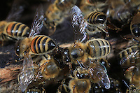 At the bee hive entrance bees are cooling the colony by using theirs wings as a fan.