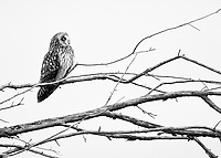 A Short-eared owl perches on bare branches in western Washington.