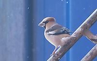 Hawfinch near main deck May 12, 2016