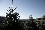 "November 23, 2008. Ashe County, NC.. The Christmas tree industry in Ashe County..At the Miller's Christmas Tree Farm, 360.982.3088, Highway 16 N.. All the land for the farm used to be for cattle, but due to the difficulty of independent ranching, the farm was turned over to trees years ago.. Mr. Miller sells most of his trees wholesale in the week leading up to Thanksgiving, the busiest in the industry, and then sells the rest in the ""Choose and Cut"" retail business."