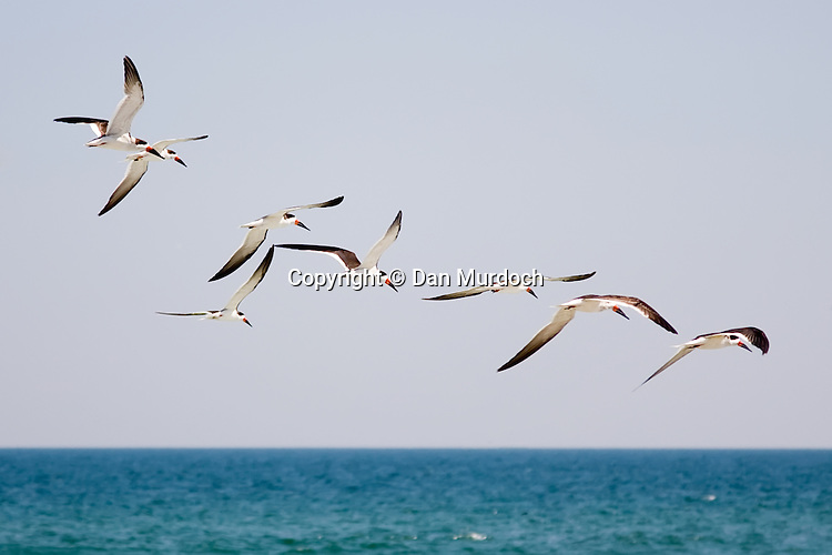 flying terns in formation