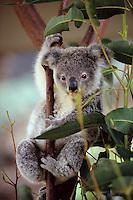Océanie/Australie/Queensland/Kuranda: Koala dans la rainforest