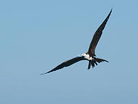 Immature magnificent frigatebird, Fregata magnificens, near the mouth of the Tarcoles River, Costa Rica