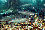 Atlantic Salmon adults at base of dam, Maine