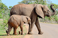 Female African bush elephants (Loxodonta africana africana) with young, crossing a paved road, Kruger National Park, South Africa, Africa