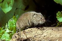 MU30-012z  Meadow Vole - Microtus pennsylvanicus
