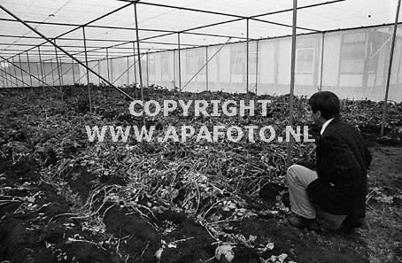 wageningen (archief 11071990) door aktievoerders vernield aardappelproefveld in een kas in wageningen. <br />foto frans ypma APA-foto<br />(lage resolutie)