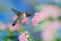 Ruby-throated Hummingbird (Archilochus colubris), male in flight feeding on Pentas flower, Hill Country, Central Texas, USA