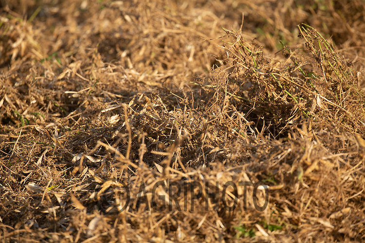 13-8-2021 Pea straw <br /> ©Tim Scrivener Photographer 07850 303986<br />      ....Covering Agriculture In The UK....