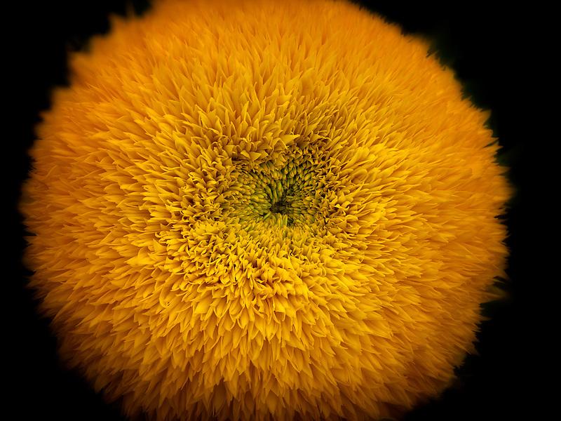 Close up of Teddy Bear Sunflower.