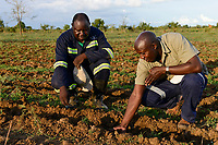 ZAMBIA, Mazabuka, Chikankata area, medium scale farmer Stephen Chinyama, he practise conservation farming, ripped furrows for cotton seeding, in talk with Conservation farmer Unit CFU Steven Nshimbi