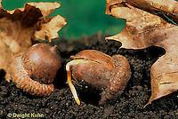 TT18-057a  Oak - acorn germinating - Quercus spp.