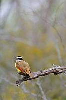 Adult Great Kiskadee (Pitangus sulphuratus). Willacy County, Texas. March.