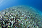 A completely destroyed reef due to bomb or dynamite fishing, Spice Islands, Maluku Region, Halmahera, Indonesia, Pacific Ocean