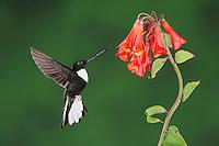 Collared Inca (Coeligena torquata), male feeding from Bomarea flower, Papallacta, Ecuador, Andes, South America