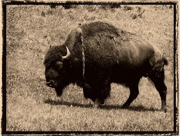 Buffalo of the Yellowstone