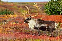 Bull Caribou on the autumn tundra, Denali National Park, Alaska