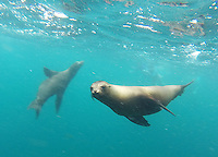 Galapagos sea lions are a common sight throughout the islands.  They're often seen at close range, both on land and in the water.