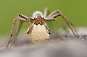 Nursery Web Spider {Pisaura mirabilis} female carrying egg sac, Peak DIstrict National Park, Derbyshire, UK. June.