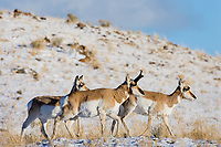 Pronghorn Antelope (Antilocapra americana) on grasslands along northern boundry of Yellowstone National Park, Montana.  December.  Buck with two does.