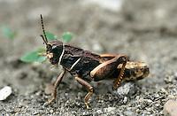 Heuschrecke, Männchen, Paranocaracris bulgaricus, Poecilimon bulgaricus, grashopper, male