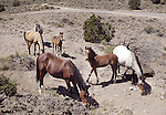 A herd of wild horses graze outside of Virginia City, Nev., on Tuesday, July 6, 2004..Photo by Cathleen Allison/Copyright Nevada Appeal