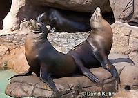 0406-1005  Pair of California Sea Lions Sun Bathing, Zalophus californianus  © David Kuhn/Dwight Kuhn Photography.