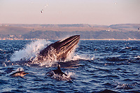 Bryde's whale, Balaenoptera edeni, and long-beaked common dolphins, Delphinus capensis, lunge through a baitball during the Sardine Run, South Africa