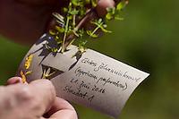 Gesammeltes Johanniskraut wird mit Etikett versehen, beschriftet. Tüpfel-Johanniskraut, Echtes Johanniskraut, Durchlöchertes Johanniskraut, Tüpfeljohanniskraut, Tüpfel-Hartheu, Hartheu, Hypericum perforatum, St. John´s Wort, Tipton's weed, rosin rose, goatweed, chase-devil, Klamath weed, Le millepertuis perforé, millepertuis commun, millepertuis officinal. Botanik, Botanisieren, botany, Herbar, herbaria, Herbarien, herbarisieren, herbier, Pflanzenbestimmung, Pflanzenherbar