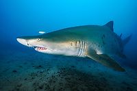 sand tiger shark, Carcharias taurus, aka grey nurse shark, spotted ragged-tooth shark, or blue-nurse sand tiger, Chichi-jima, Bonin Islands, Ogasawara Islands, Natural World Heritage Site, Tokyo, Japan, Pacific Ocean