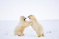 polar bears, Ursus maritimus, playing around on the pack ice, 1002 coastal plain of the Arctic National Wildlife Refuge, Alaska, polar bear, Ursus maritimus