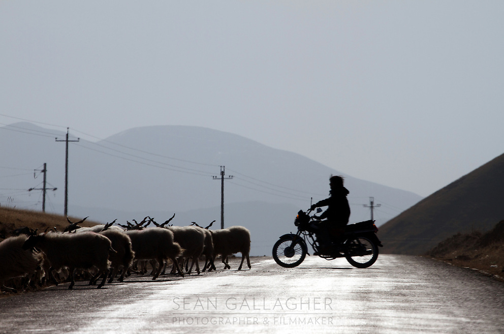 A Tibetan farmer herds his cattle using a motorbike on the Qinghai-Tibetan Plateau. China