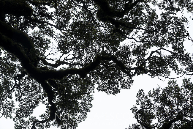 Patterns of beech forest against sky, Te Urewera, Hawke's Bay, North Island, New Zealand, NZ