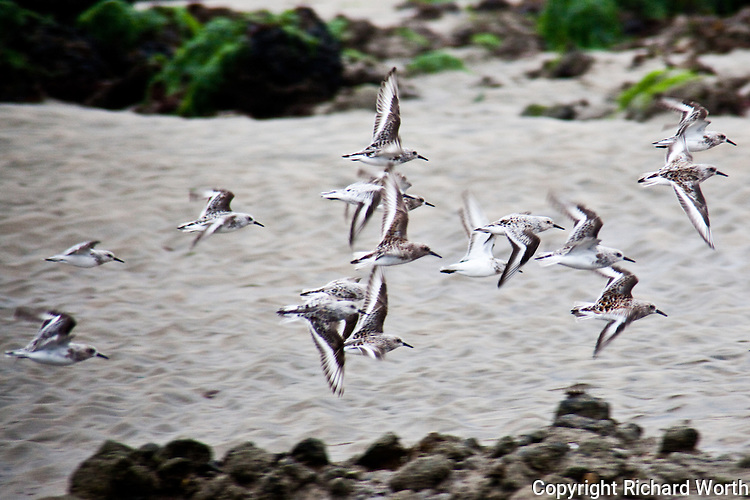 A group of sanderlings shows the first signs of falling into formation.