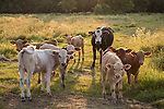 Brazoria County, Damon, Texas; several calves and their adult babysitter standing on the path through the pasture, backlit by late afternoon sunlight