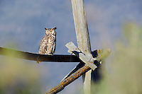 Great Horned Owl on fence. Summer Lake State Wildlife Refuge. Oregon