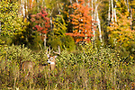 White-tailed buck in autum