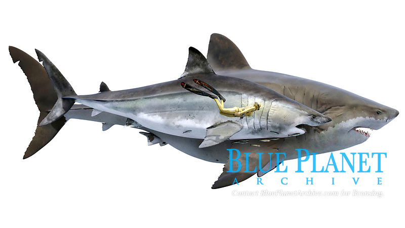 Otodus obliquus, ancestor of Megalodon with a diver for scale, prehistorica sharks, digital illustration