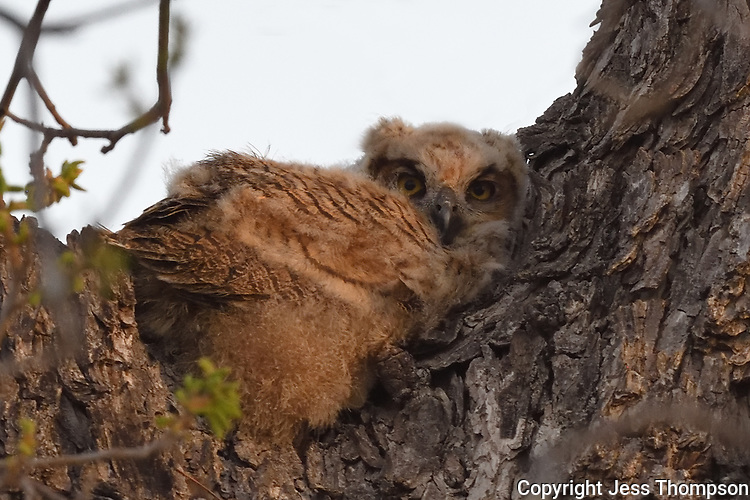 Great Horned Owlet, San Angelo