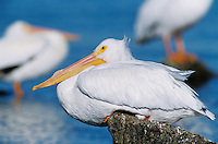 American White Pelican, Pelecanus erythrorhynchos,adult resting, Rockport, Texas, USA, December 2003