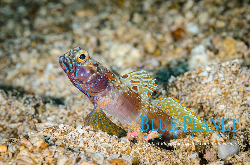 Wide-Barred shrimpgoby, Amblyeleotris latifasciata, Anilao, Batangas, Philippines, Pacific Ocean