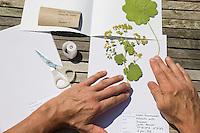 Gepresste Pflanze wird vom Einlegebogen vorsichtig auf den Herbarbogen geschoben. Frauenmantel. Botanik, Botanisieren, botany, Herbar, herbaria, Herbarien, herbarisieren, herbier, Pflanzenbestimmung, Pflanzenherbar