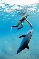Snorkeler holding Sea Cucumber, Holothuria edulis, interacting with wild Bottlenose Dolphin, Tursiops truncatus, at surface, Nuweiba, Egypt, Red Sea., Northern Africa