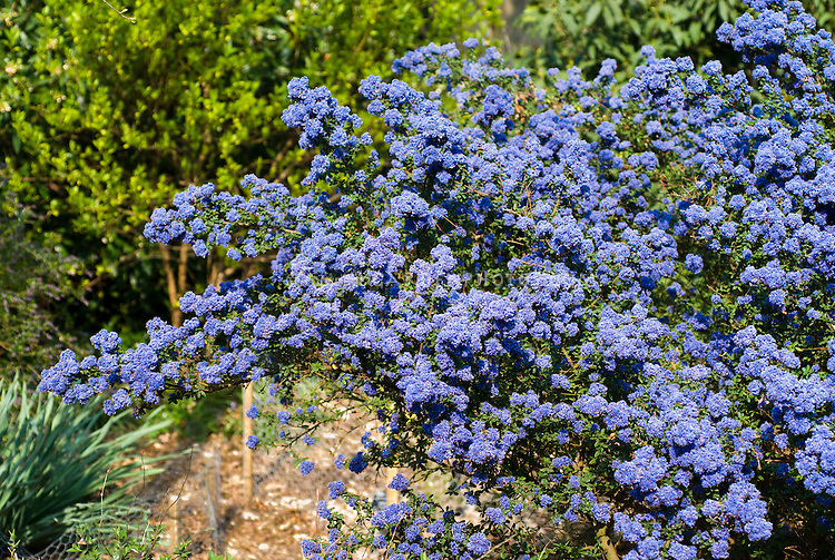 Ceanothus Dark Star showing blue flowered entire shrub bush