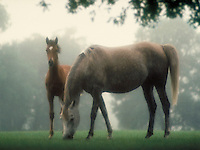 Arabian mare grazing with curious foal under Oak trees in soft misty morning light. horse, horses, animals.
