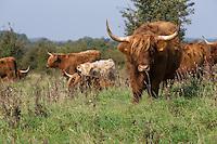 Schottisches Hochlandrind, Schottische Hochlandrinder, Highländer, Kyloe, Robustrind, Robustrinder, Offene Weidelandschaft, Halboffene Weidelandschaft, Winderatter See, Schleswig Holstein, Extensive Beweidung der Grünlandflächen, Grünland, Weidefläche, Weideland, extensive Weidewirtschaft, Rinderrasse. Bos primigenius f. taurus. Highland Cattle, Scottish Highland cattle, grassland, grazing land, rangeland, range land, open-range cattle country