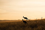 Eastern Grey Kangaroo (Macropus giganteus) pair jumping over fence in grassland at sunset, Mount Taylor Nature Reserve, Canberra, Australian Capital Territory, Australia