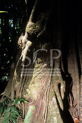 Osa Peninsula, Costa Rica. Marenco ecotourist lodge; rainforest tree with wood nymphs in the bark.
