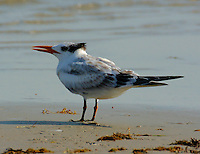 Juvenile royal tern